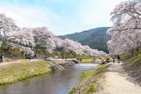 日本の桜風景 うぐい川と鮎河千本桜 10737000393| 写真素材・ストックフォト・画像・イラスト素材|アマナイメージズ