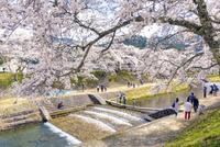 日本の桜風景 うぐい川を渡る人と鮎河千本桜 10737000394| 写真素材・ストックフォト・画像・イラスト素材|アマナイメージズ