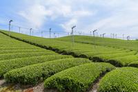 日本五大銘茶産地・朝宮の茶畑 10737000401| 写真素材・ストックフォト・画像・イラスト素材|アマナイメージズ