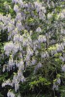 野生の藤の花 10737000407| 写真素材・ストックフォト・画像・イラスト素材|アマナイメージズ