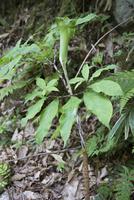 開花期のマムシグサ(蝮草) 10737000408| 写真素材・ストックフォト・画像・イラスト素材|アマナイメージズ