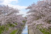 日本の桜風景 高田川と高田千本桜 10737000411| 写真素材・ストックフォト・画像・イラスト素材|アマナイメージズ