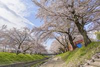 日本の桜風景 高田千本桜と屋台 10737000413| 写真素材・ストックフォト・画像・イラスト素材|アマナイメージズ