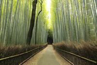 6月初夏 京都嵯峨野の竹林の道