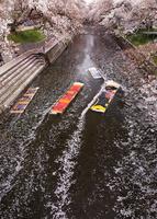 4月桜 岩倉の五条川「のんぼり洗い」