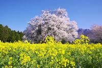 一心行の大桜と菜の花 10740000505| 写真素材・ストックフォト・画像・イラスト素材|アマナイメージズ