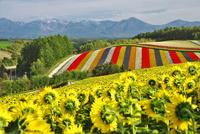 四季彩の丘と十勝岳連峰の秋