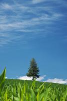 夏の木と丘と雲