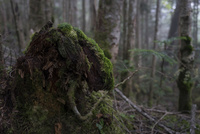 国師ヶ岳登山道にある苔の生えた倒木の株