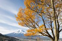 河口湖よりのぞむ秋の富士山と欅の黄葉