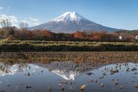 富士吉田市より望む冠雪した富士と田んぼの逆富士(横)