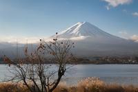 河口湖より望む朝日を浴びる富士山と柿の木