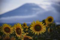 花の都公園より望む向日葵と富士山 10743000198| 写真素材・ストックフォト・画像・イラスト素材|アマナイメージズ