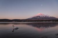 早朝の山中湖より望む白鳥と紅富士 10743000208| 写真素材・ストックフォト・画像・イラスト素材|アマナイメージズ