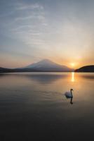 夕方の山中湖より望む白鳥と富士山 10743000209| 写真素材・ストックフォト・画像・イラスト素材|アマナイメージズ