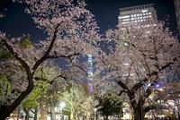 錦糸公園より望む夜桜と東京スカイツリー 10743000223| 写真素材・ストックフォト・画像・イラスト素材|アマナイメージズ