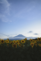 花の都公園より望む向日葵と富士山 10743000225| 写真素材・ストックフォト・画像・イラスト素材|アマナイメージズ