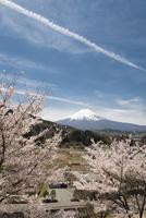 背戸山より望む桜と富士山 10743000230| 写真素材・ストックフォト・画像・イラスト素材|アマナイメージズ