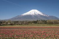 花の都公園より望むチューリップ畑と富士山 10743000236| 写真素材・ストックフォト・画像・イラスト素材|アマナイメージズ