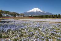 花の都公園より望むネモフィラ畑と富士山 10743000238| 写真素材・ストックフォト・画像・イラスト素材|アマナイメージズ