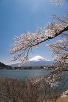 河口湖より望む富士山と桜 10743000258| 写真素材・ストックフォト・画像・イラスト素材|アマナイメージズ