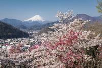 岩殿山より望む桜と富士山 10743000271| 写真素材・ストックフォト・画像・イラスト素材|アマナイメージズ