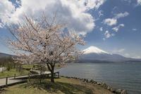 山中湖より望む富士山と桜 10743000280| 写真素材・ストックフォト・画像・イラスト素材|アマナイメージズ
