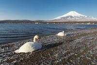 山中湖より望む白鳥と富士山 10743000282| 写真素材・ストックフォト・画像・イラスト素材|アマナイメージズ