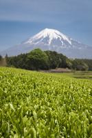 茶畑と富士山 10743000293| 写真素材・ストックフォト・画像・イラスト素材|アマナイメージズ