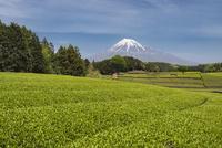 茶畑と富士山 10743000294| 写真素材・ストックフォト・画像・イラスト素材|アマナイメージズ