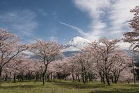 常灯ケ峰より望む桜と富士山 10743000295| 写真素材・ストックフォト・画像・イラスト素材|アマナイメージズ