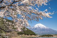 田貫湖より望む桜と富士山 10743000297| 写真素材・ストックフォト・画像・イラスト素材|アマナイメージズ