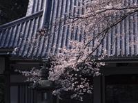 光長寺の本堂と桜 10743000301| 写真素材・ストックフォト・画像・イラスト素材|アマナイメージズ