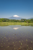 田植え直後の田んぼと富士山 10743000303| 写真素材・ストックフォト・画像・イラスト素材|アマナイメージズ