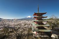 新倉山浅間公園より望む桜と五重塔越しの富士山 10743000355| 写真素材・ストックフォト・画像・イラスト素材|アマナイメージズ
