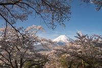 富士見孝徳公園より望む満開の桜越しの富士山 10743000356| 写真素材・ストックフォト・画像・イラスト素材|アマナイメージズ