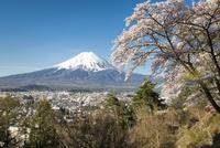 富士見孝徳公園より望む満開の桜越しの富士山 10743000357| 写真素材・ストックフォト・画像・イラスト素材|アマナイメージズ