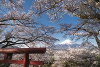 富士見孝徳公園より望む鳥居と満開の桜越しの富士山 10743000358| 写真素材・ストックフォト・画像・イラスト素材|アマナイメージズ