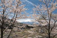 背戸山より望む満開の桜越しの富士山 10743000359| 写真素材・ストックフォト・画像・イラスト素材|アマナイメージズ