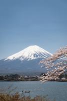 河口湖より望む桜と富士山 10743000360| 写真素材・ストックフォト・画像・イラスト素材|アマナイメージズ