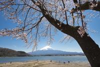 河口湖より望む桜と富士山 10743000361| 写真素材・ストックフォト・画像・イラスト素材|アマナイメージズ
