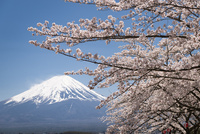 河口湖より望む桜と富士山 10743000362| 写真素材・ストックフォト・画像・イラスト素材|アマナイメージズ