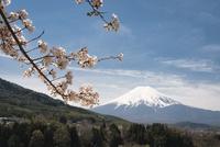 背戸山より望む桜越しの富士山 10743000399| 写真素材・ストックフォト・画像・イラスト素材|アマナイメージズ