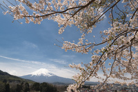 背戸山より望む桜越しの富士山 10743000400| 写真素材・ストックフォト・画像・イラスト素材|アマナイメージズ