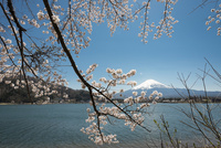河口湖より望む桜と富士山 10743000403| 写真素材・ストックフォト・画像・イラスト素材|アマナイメージズ