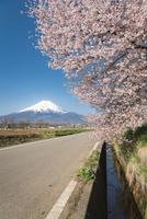 忍野村より望む桜と富士山 10743000406| 写真素材・ストックフォト・画像・イラスト素材|アマナイメージズ