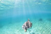 水面へ向かうアオウミガメ 10745000063| 写真素材・ストックフォト・画像・イラスト素材|アマナイメージズ