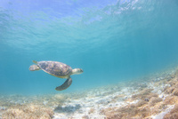 水中をのんびり泳ぐアオウミガメ 10745000064| 写真素材・ストックフォト・画像・イラスト素材|アマナイメージズ