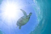 水中を飛ぶように泳ぐアオウミガメ 10745000065| 写真素材・ストックフォト・画像・イラスト素材|アマナイメージズ