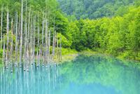 青い池と新緑